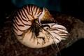 Chambered Nautilus-9482