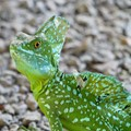 I shot this with a long telephoto lens using a camera with a very poor viewfinder. I was surprised to see the lizard was molting when  I saw the pic on my computer screen