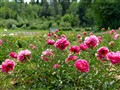 Field of Peonies