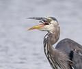 Blue heron eating a small fish