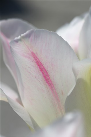 White Tulip with Pink Streak