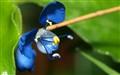 Tiny Blue Weed