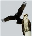 Crow Bait_6883lrg