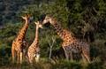 Gathering of Giraffes