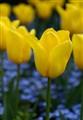 Tulip in Butchart Gardens