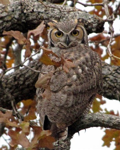 Camouflaged Great Horned Owl
