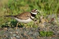 Killdeer Walking