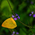 A Yellow Butterfly on a Purple Flower in a Lush Green Garden.