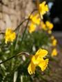 YAY! More Daffodils