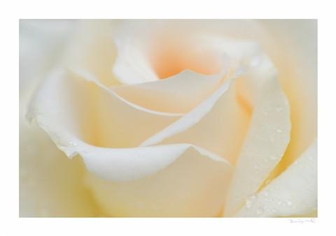Rose29th9a