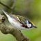 chestnut-sided warbler descending branch