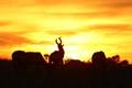 Hartebeast grazing at sun set