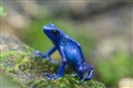 a little blue poison frog