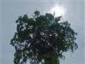 Agianst sun and giant tree