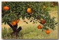Jeju mandarin orange
