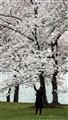 Cherry Blossom Picker