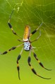 banana spider, harmless