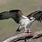 osprey0323