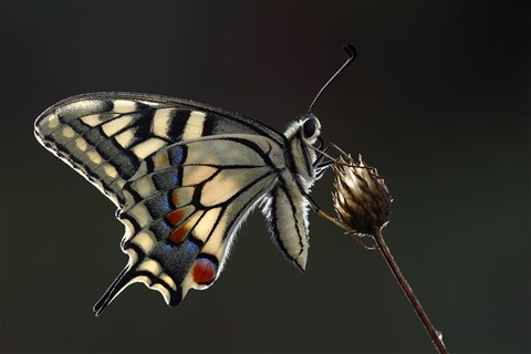 Papilio machaon backlight