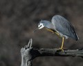 White-faced Heron scratching an itch