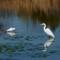 pond_egrets