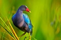 purple galinule against wetland vegetation