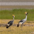 Cranes Ngorongoro Crater
