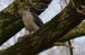 Coopers Hawk and her dinner