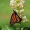 Monarch Butterfly on Bottle Brush Flower