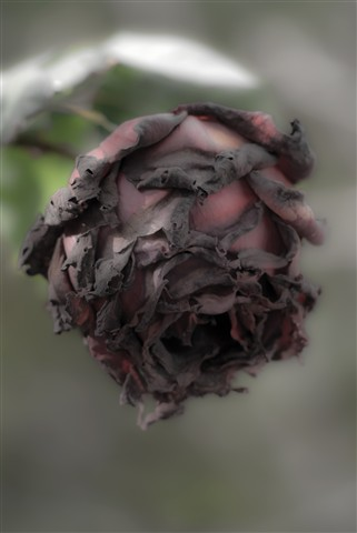 Death of a Rose