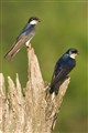 Tree Swallows Posing