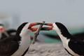 Skimmer Mating-D