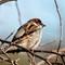 Sparrow IMG_0076