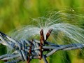 wind-blown seed on barbed wire...