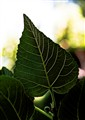 LEAF OF FIG TREEE