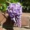 zs15-wisteria