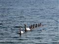 Swans & Sixpack