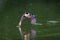Hooded Merganser takes off from water