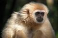 Pensive gibbon