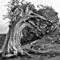 Gnaried juniper