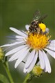 wild bee on aster