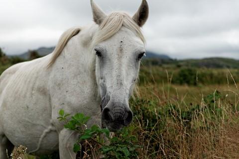 Irish horses from Conemara in Dawros