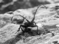 Croitorul cenusiu (Morimus funereus) - Gray Tailor