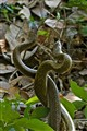 Mating rat snakes