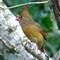 P1600793female cardinal