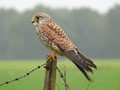 Kestrel in the rain