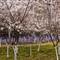 _DSC9871 blossoms