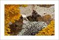Epiphyte lichens on aspen.