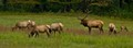 The Cataloochee Valley Elks.