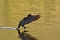 Cormorant touching down